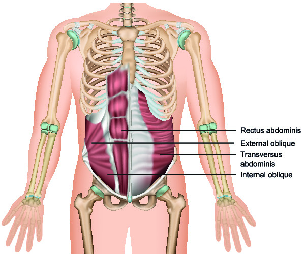 Anatomy of the abdominal wall showing the different muscular layers
